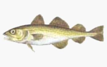 seafood-merluzzo-nordico