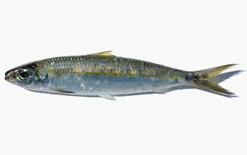 seafood-sardinella