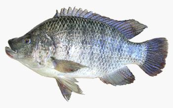 seafood-tilapia