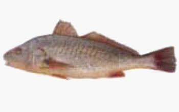 seafood-yellow-crocker