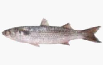 seafood-cefalo