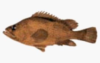 seafood-cernia