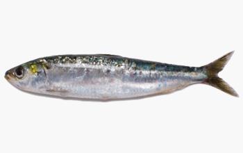 seafood-sardina